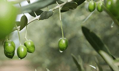 オリーブ 品種